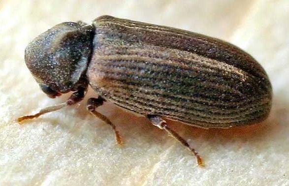 Woodworm Anobium punctatum