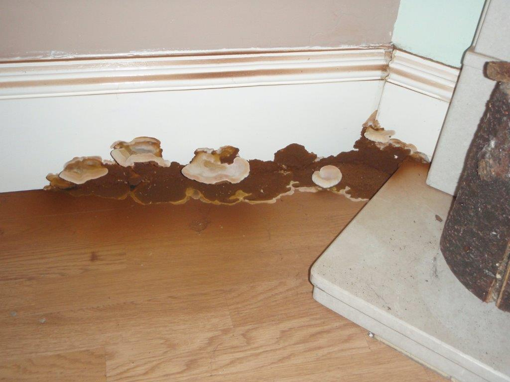 Dry Rot Attack and fruiting bodies.