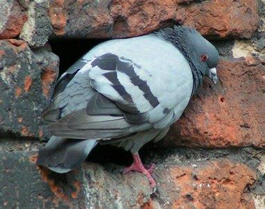 Pigeon at its Nest