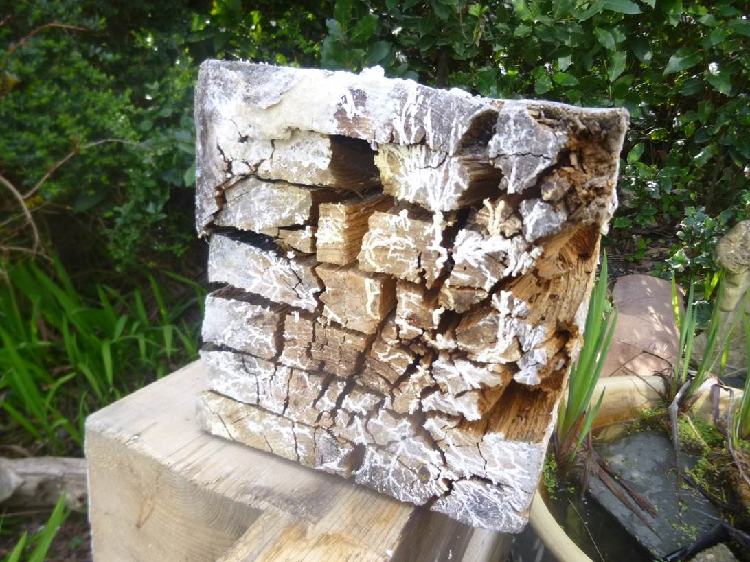 Timber damage caused by Wet Rot (Fibroporia vaillantii).