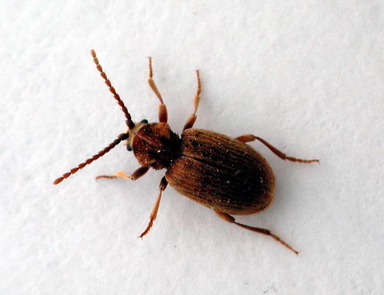 Spider Beetles Pest Control