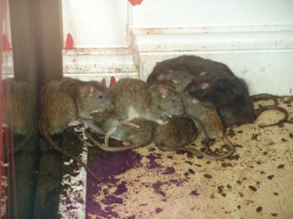 Protectahome Rat Infestation