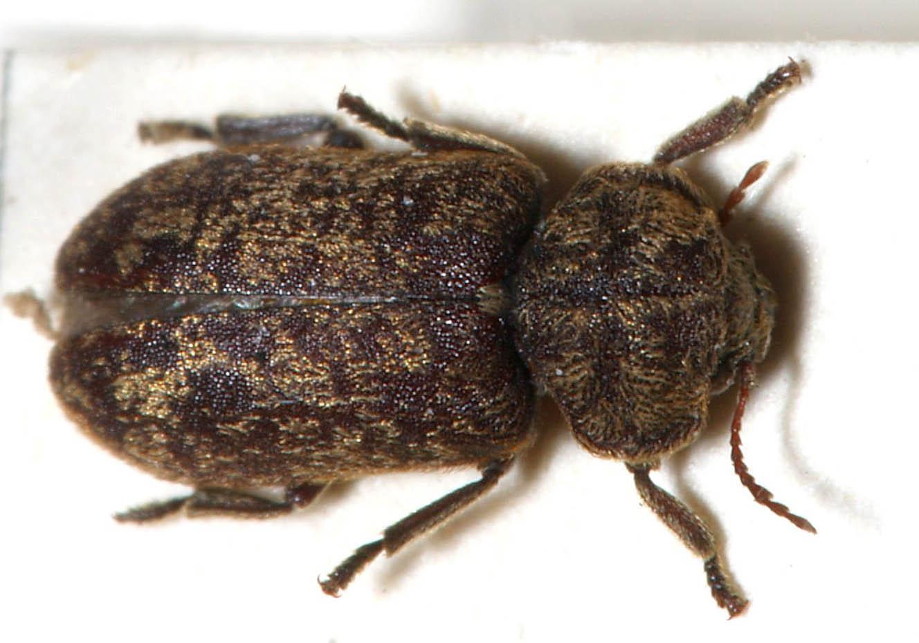 Death Watch Beetle - Xestobium rufovillasum