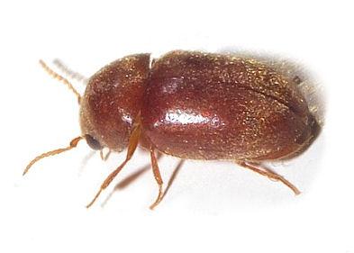 Biscuit Beetle