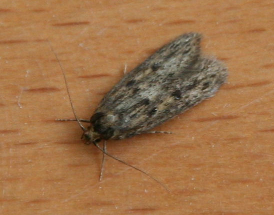 Brown House Moths