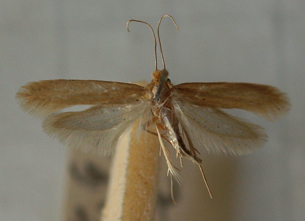 Common Clothes Moths