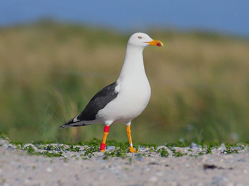 Common Seagull