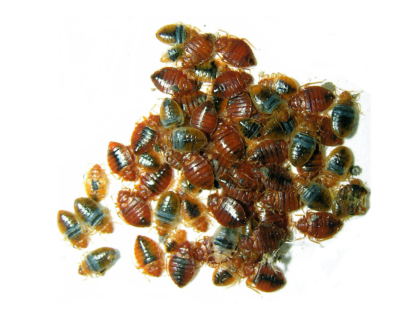 Engorged Bed Bugs