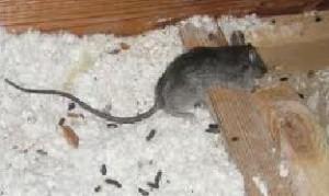 Rat Control in Newport, South Wales