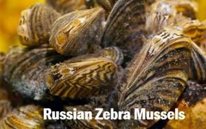Russian Zebra Mussels