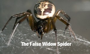 The False Widow Spider